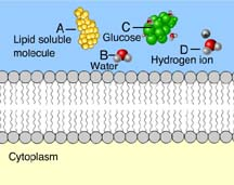 selective permeability of membranes mastering biology quiz